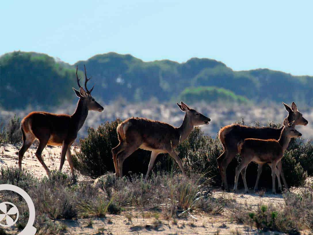 ciervos excursión a doñana desde sevilla